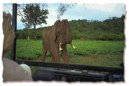 Elephant in Matusadona, Zimbabwe, April 1996