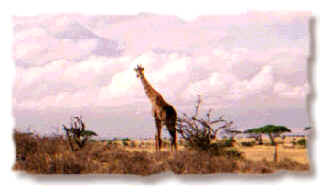 Giraffe in Amboseli National Park, Kenya, October 1997