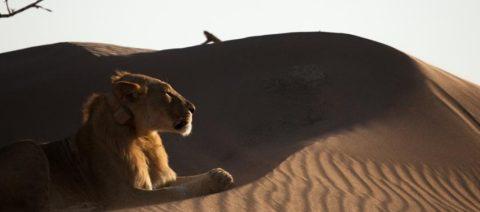 Vanishing Kings - Namibia's Desert Lion