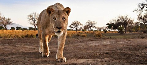 lioness-on-the-prowl