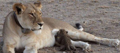 Tanzania Lion Nursing Leopard Cub